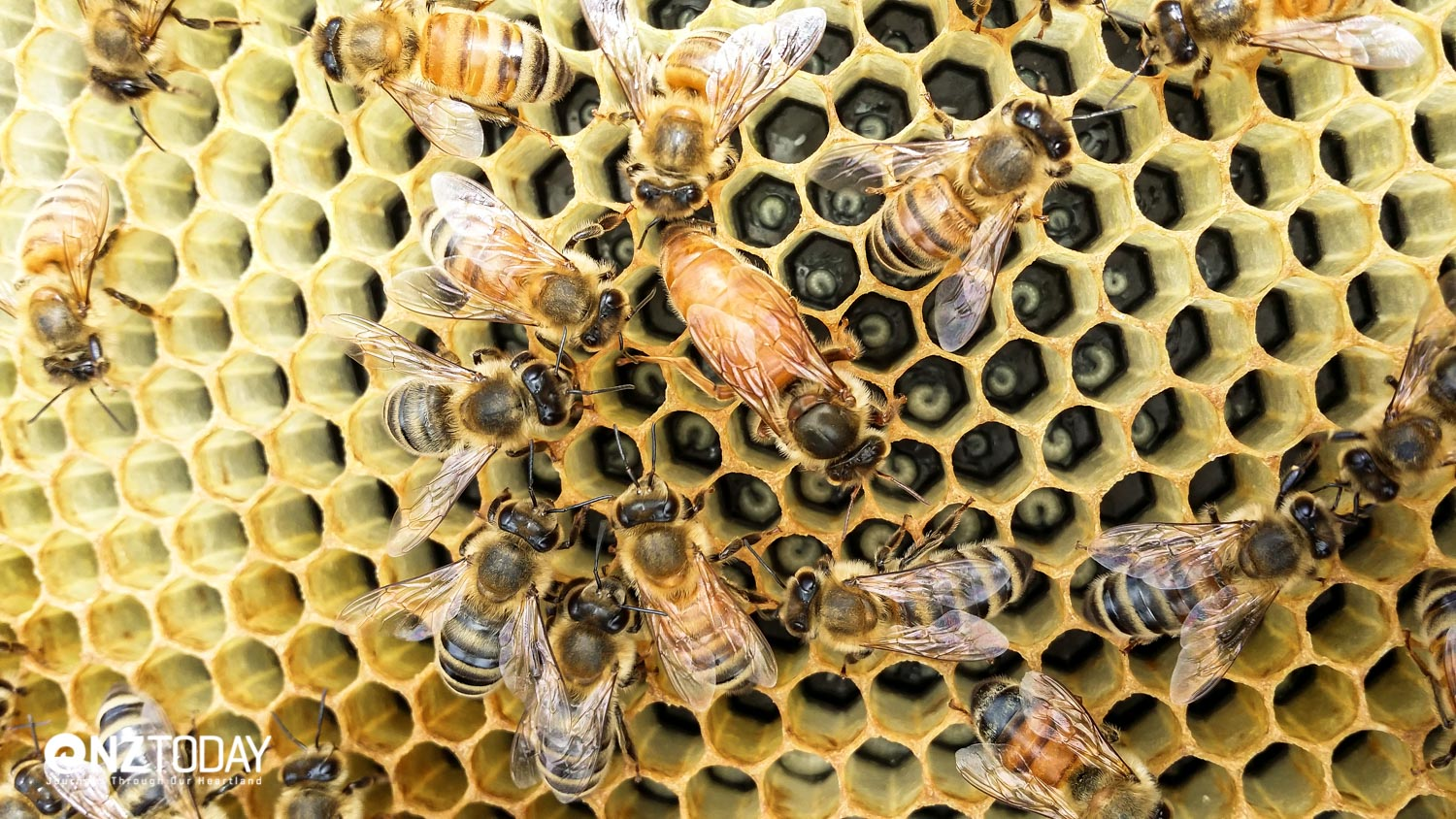 Bees around the queen