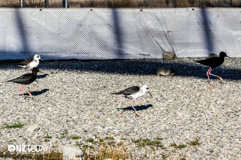 Kakī in the free-flight aviary