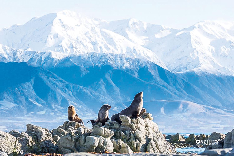 Seals at Point Kean snow on mountains Photo Bare Kiwi