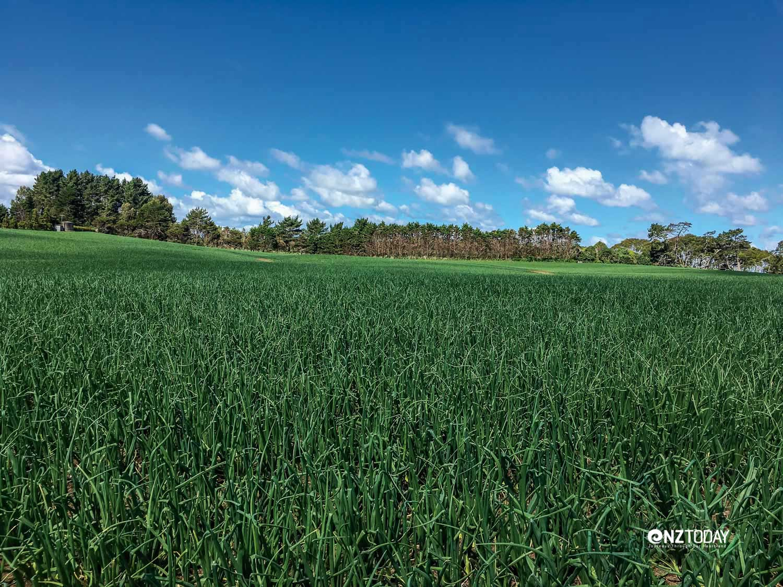 Onion fields at Pukekohe