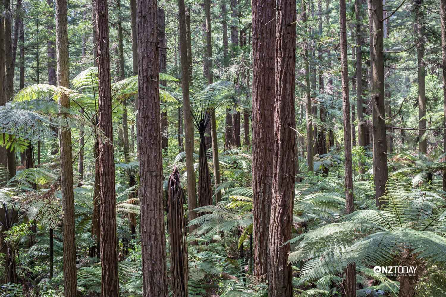 A bird's-eye view of the redwood forest from the Treewalk