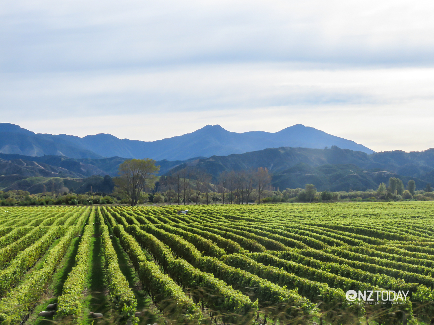 Just a few vines – one of the many Marlborough vineyards