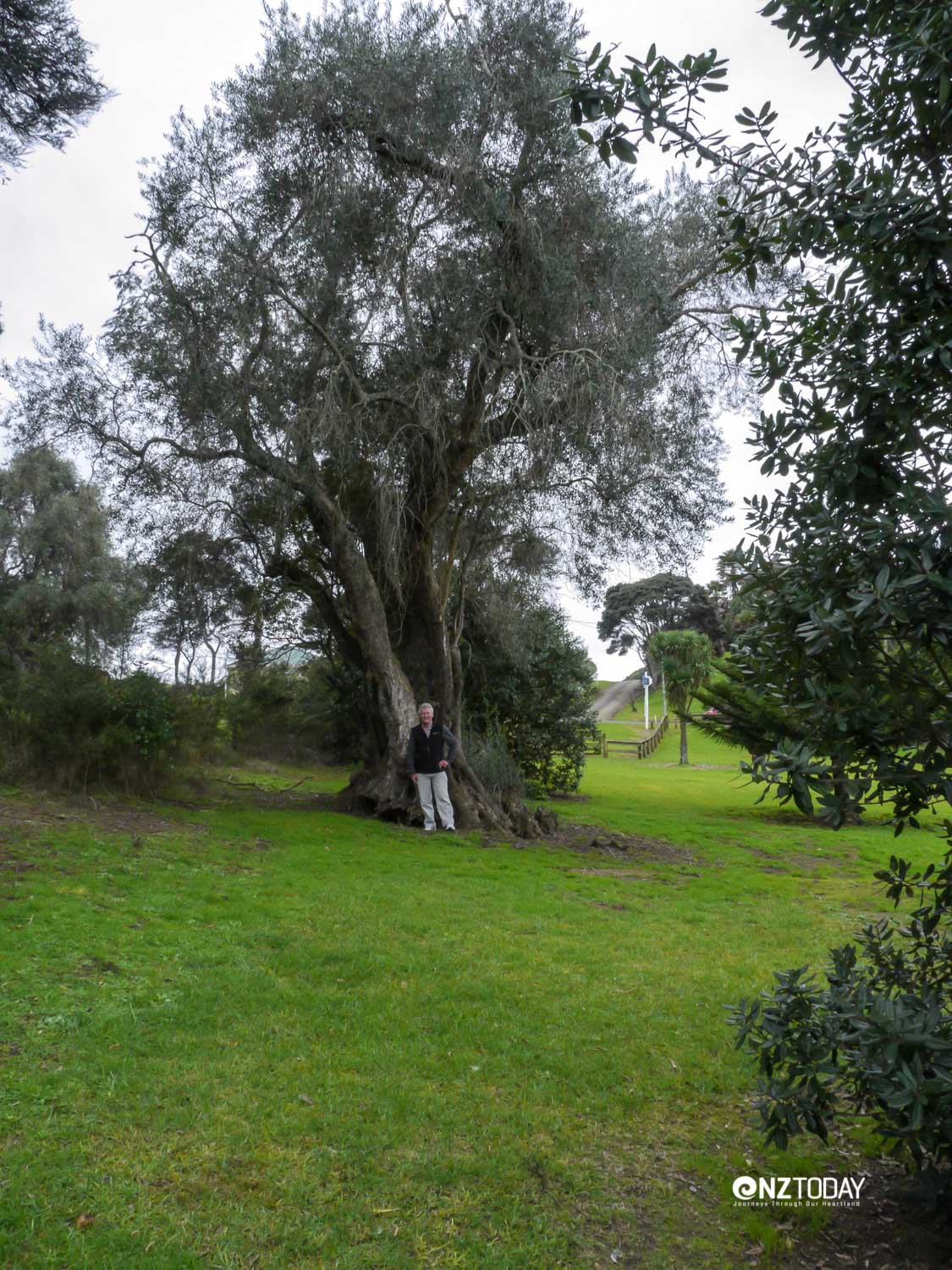 A tourist gives scale to the mysterious 20-metre olive tree at Pouto