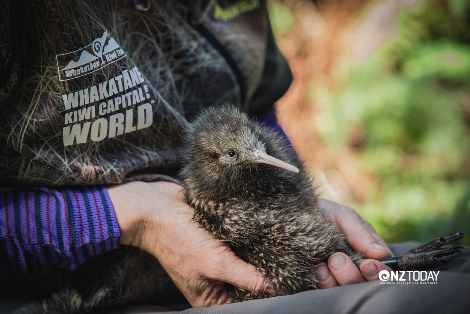Whakatāne Kiwi Trust volunteer does a health check on a kiwi check. The kiwi was known as 'te manu huna a Tāne', the hidden bird of Tāne (god of the forest), because it came out mostly at night and was seldom seen