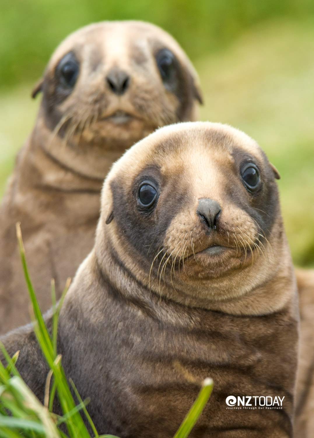Hooker's sea lion pups among the grasses on Enderby Island