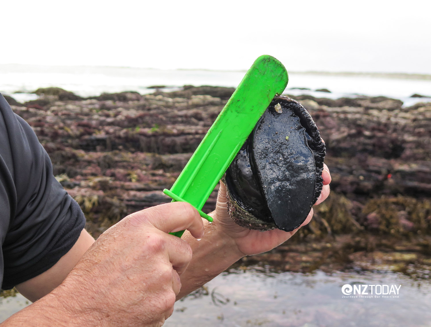 Spatula helps prise paua off rocks, and includes a measure to check for legal size